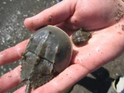 Juvenile horseshoe crabs