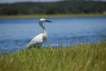 snowy egret, Baker Cove marsh
