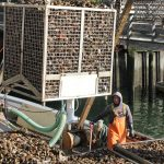 Big jump seen in CT shellfish sales since 2007, new report finds