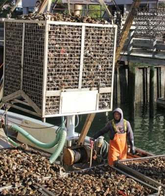 Some of the state's $30 million annual shellfish harvest is lifted onto the docks for processing at Norm Bloom & Son Oysters in Norwalk on Nov. 15.