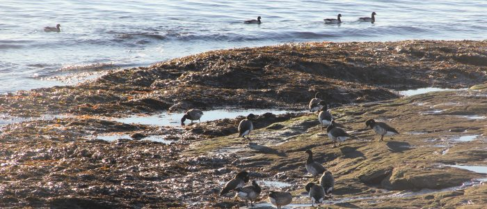 A flock of brant gather on the rocks offshore from CT Sea Grant offices.
