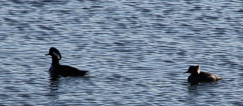 A pair of hooded mergansers swims in the Thames River in New London harbor on a cold late-December day.