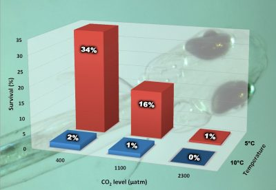 This graphic shows survival to hatch rates of Northern sand lance embryos reared at three carbon dioxide levels and two temperatures. Graphic: Hannes Baumann