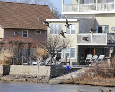 Ducks fly over Alewife Cove in New London, an urban wetland that is the focus of World Wetlands Day on Feb. 2. Judy Benson / Connecticut Sea Grant