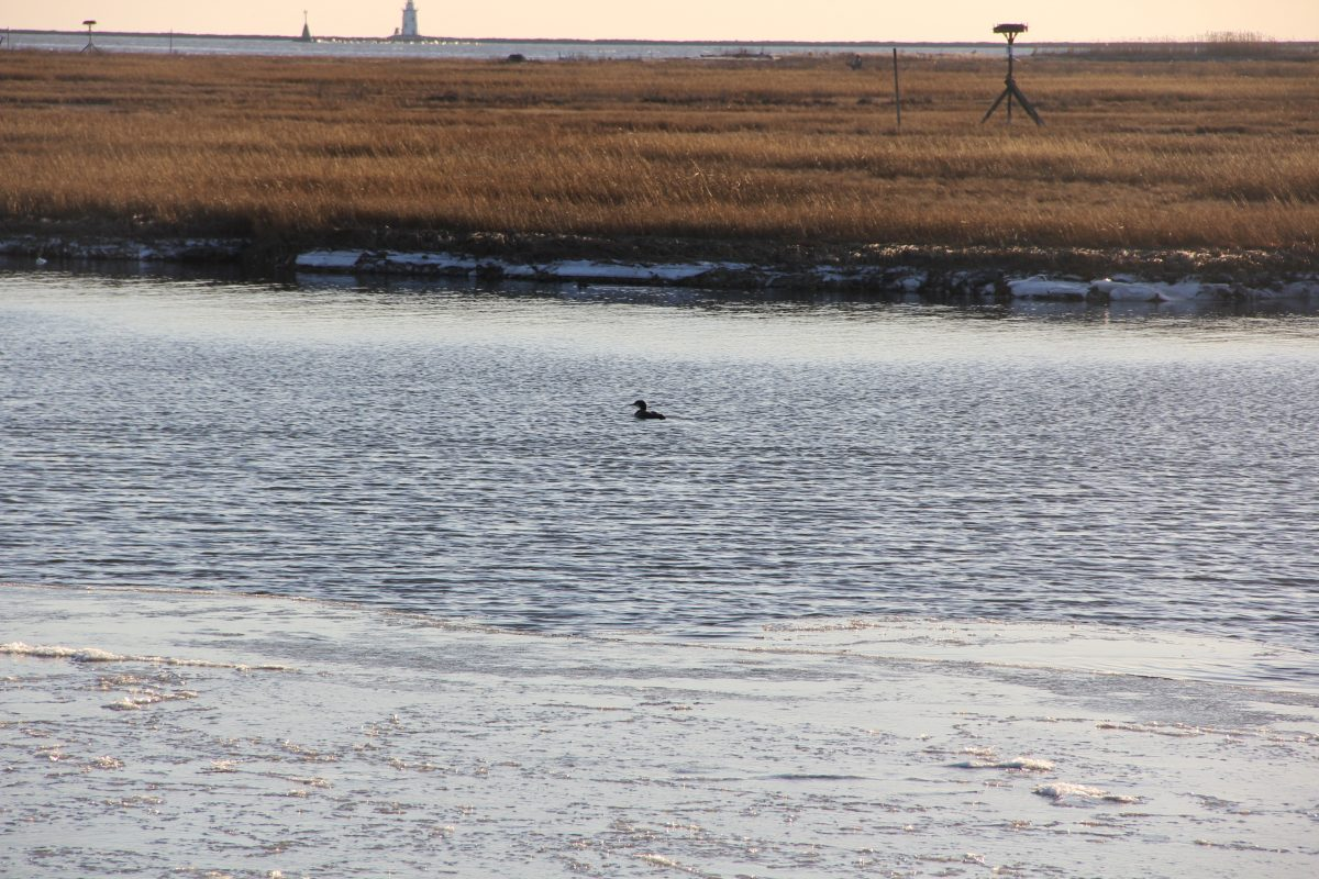 A cormorant swims near the Great Island salt marsh in Old Lyme on Jan. 26. Judy Benson / Connecticut Sea Grant