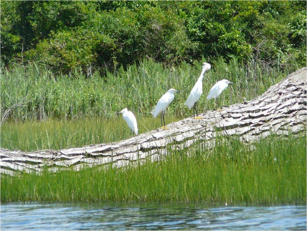 Snowy egrets perch on a log at Griswold Point in Old Lyme in the summer, part of the lower Connecticut River Wetlands of International Importance. Juliana Barrett / Connecticut Sea Grant