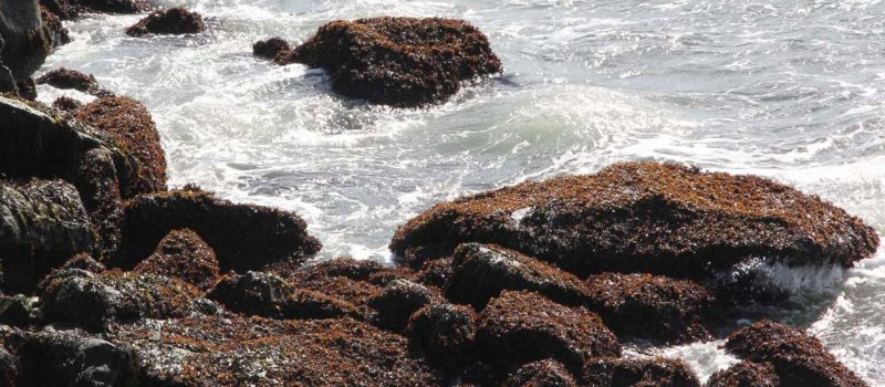Rockweed, a common brown algae on the Connecticut coast, covers rocks along the shore at UConn Avery Point.