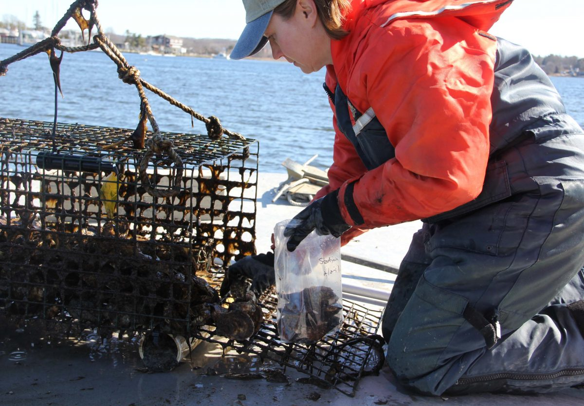 Kristin DeRosia-Banick bags oysters for the testing project.