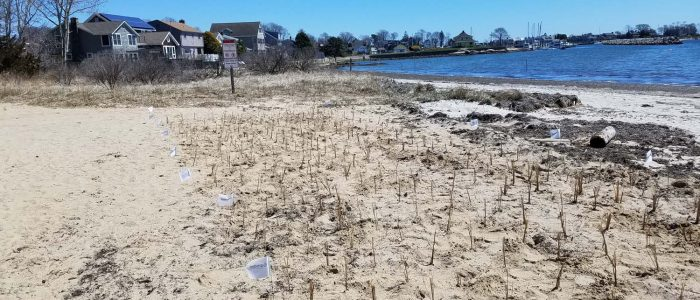 Students from Ella T. Grasso Southeastern Technical High School worked with CT Sea Grant to plant beach grass as Esker Point Beach in Groton on April. 23. Photo: Juliana Barrett