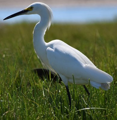 A snowy egret stands in the marsh at Bluff Point State Park in Groton.