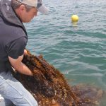 J.P. Vellotti hauls in a line loaded with kelp on June 22.