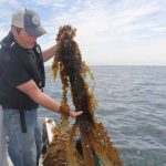 J.P. Vellotti lifts some of his kelp harvest onto the boat.