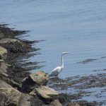 Great egrets are frequent visitors to the shores of Avery Point.