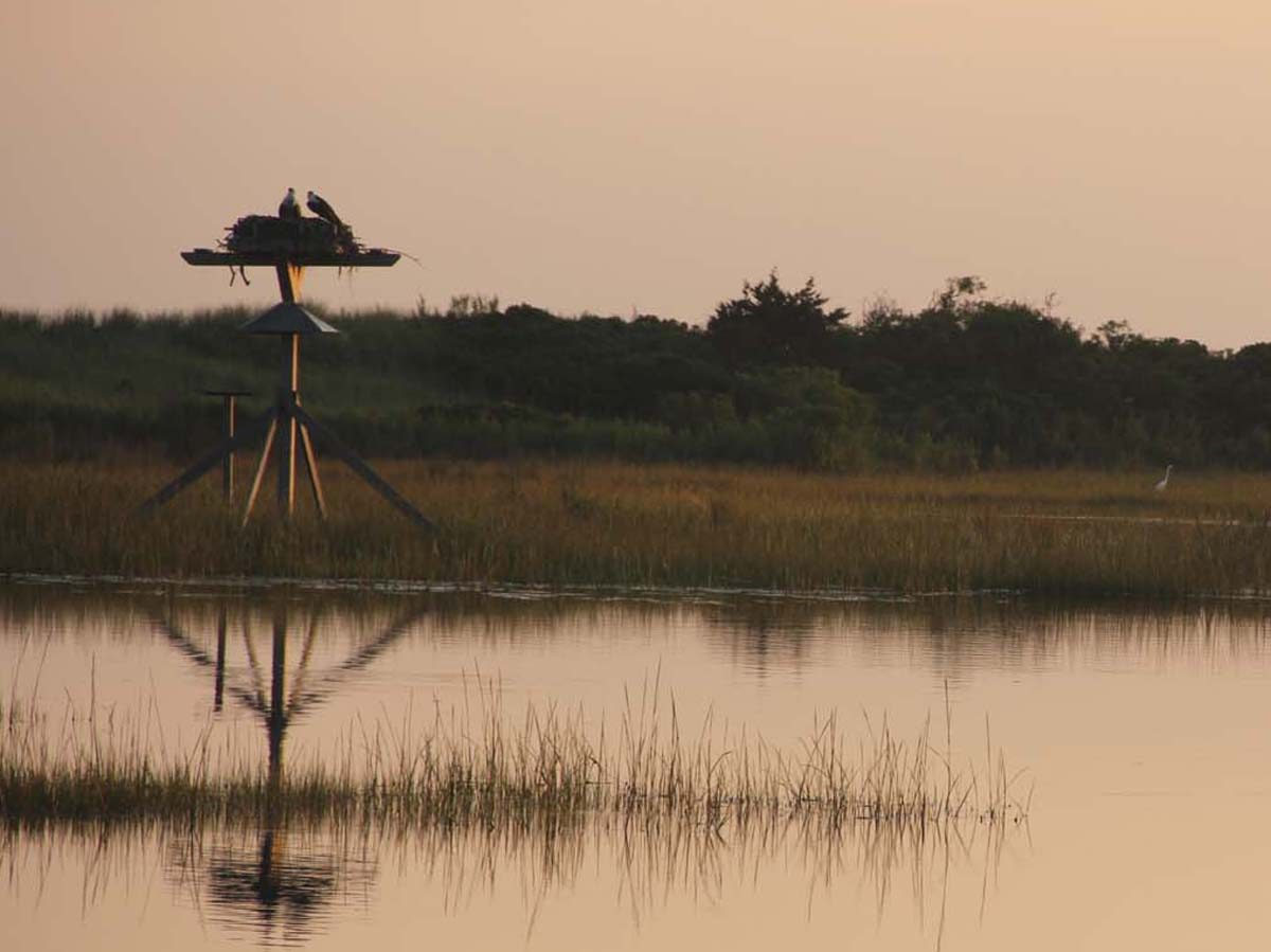 An osprey pair feeds chicks in a platform nest at Harkness Memorial State Park in Waterford just before sunset on Aug. 22 as a snowy egret wades through the marsh.
