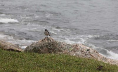 The habitat walk hugged the rocky shoreline at Avery Point, where migratory and other bird species including this northern mockingbird often stop.