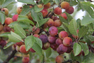 Preston pointed out two large beach plum shrubs, a native plant, that are thriving atop the grassy hill overlooking the rocky shoreline at Avery Point.