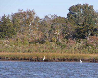 Two snowy egrets wade in a tidal pond at Bluff Point State Park on Oct. 18.