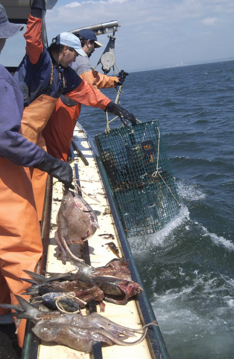 Traps are pulled out of the water aboard the Jeanette T as skate are prepared to bait the traps.