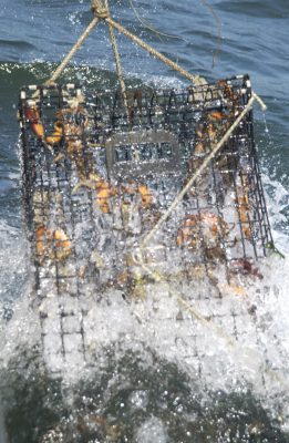 Several lobsters are seen inside the trap as it is pulled out of the water and onto the Jeanette T.