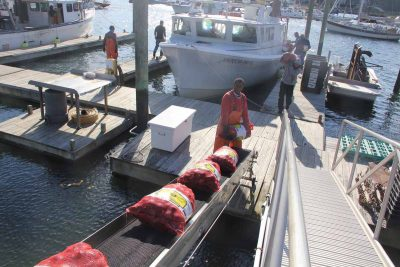Workers at Briarpatch Enterprises unload clams harvested on Oct. 24 from beds in Milford onto a conveyor belt attached to a refrigerator truck that takes the shellfish to the company's processing facility.