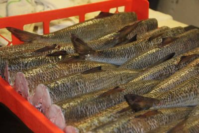 Freshly caught shad await filleting at Hale's Shad Shack in Rocky Hill.