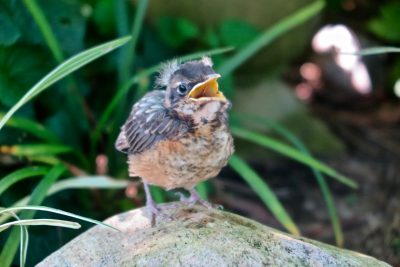 This young robin is one of many bird and insect species that benefit from the sustainable gardening practices taught in the Coastal Certificate Program.