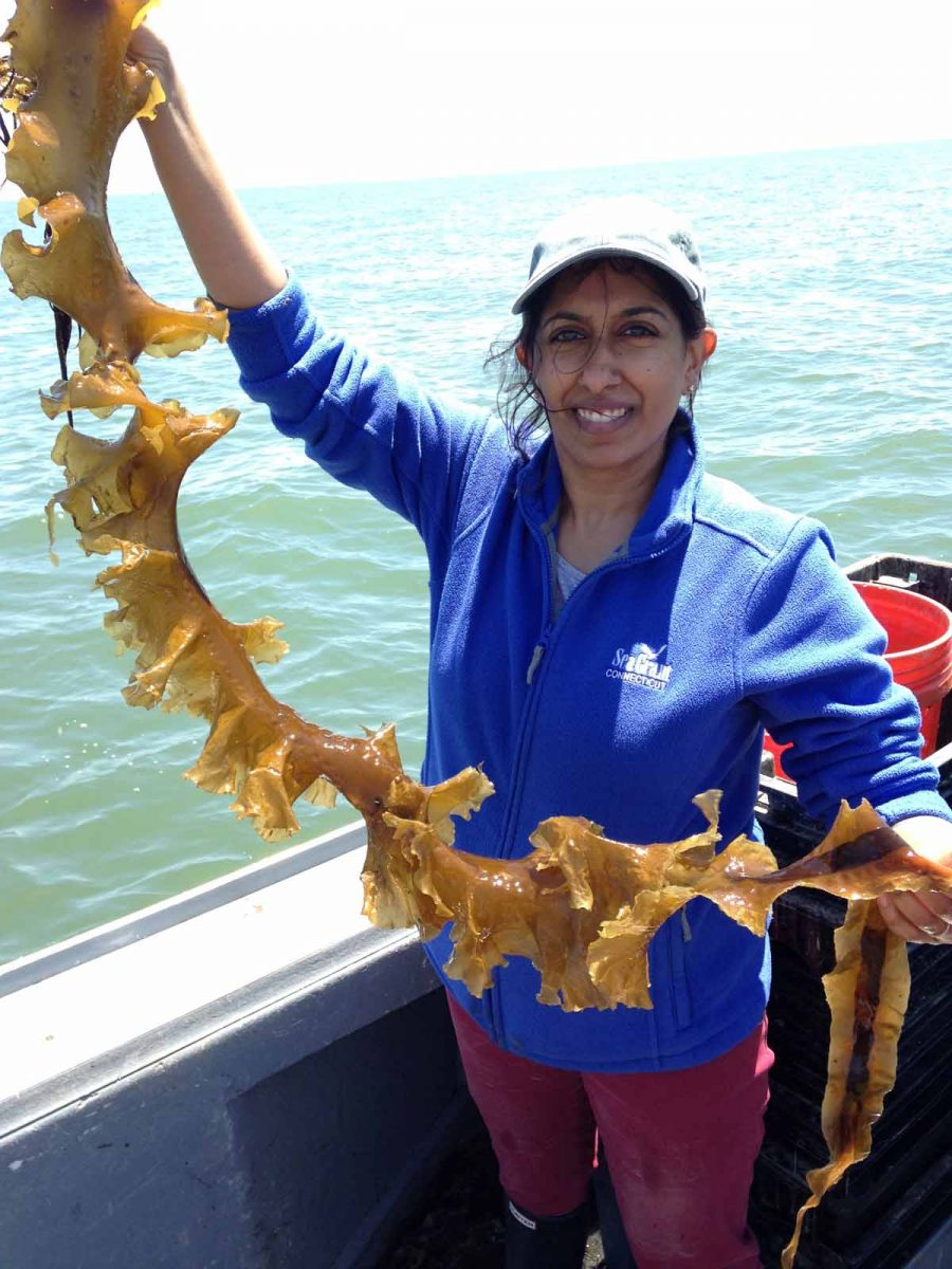 Anoushka Conception, aquaculture extension educator for Connecticut Sea Grant, holds up a ribbon of wild kelp from Long Island Sound. Wild kelp provides the source tissue for kelp grown in offshore farms.