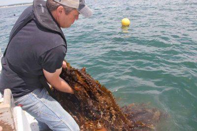 Aquaculture farmer J.P. Vellotti harvests kelp grown in beds in Groton in 2018.