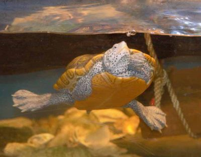 This three-limbed turtle named Hiccup was rescued from High Bar Harbor in New Jersey. The turtle is on display at the Norrie Point Center.