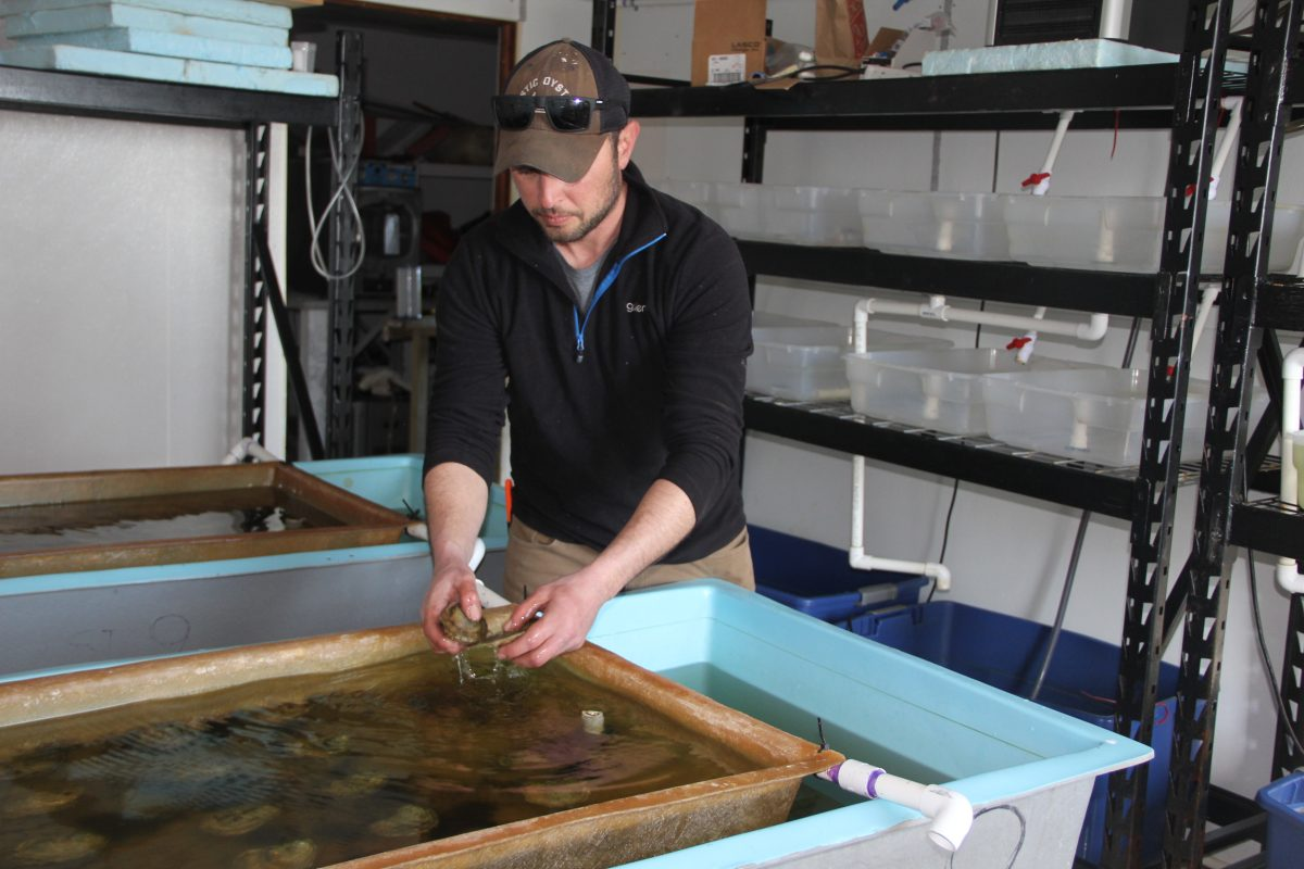Marc Harrell, manager of Mystic Oysters, checks on brood stock oysters at the Noank Aquaculture Cooperative on Thursday. While most operations have stopped at the co-op, the brood stock tanks have to be maintained, he said.