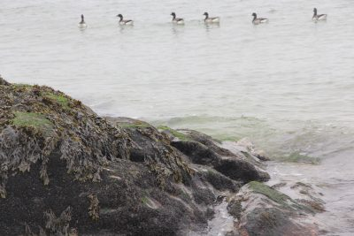 A flock of brant swim near a boulder covered with rockweed.