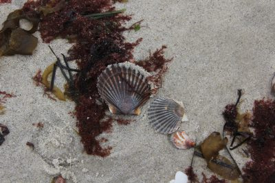 Scallop shells and a slipper shell lie amid several types of seaweed at Waterford Town Beach.