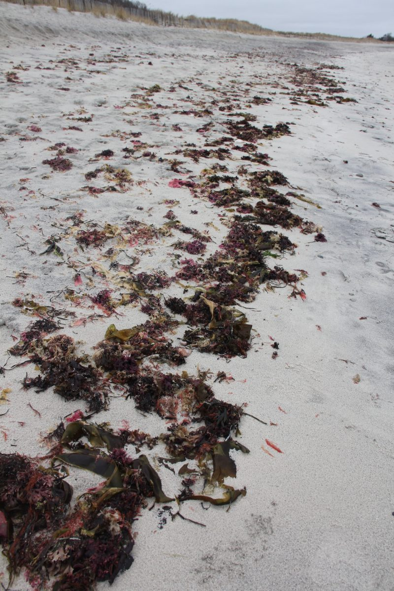 Several types of seaweed and shells can be found in the wrack line at Waterford Town Beach.