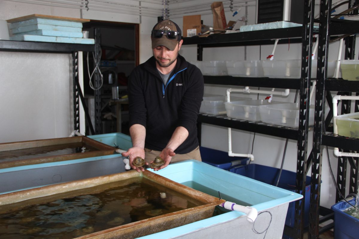 Marc Harrell, manager of Mystic Oysters, shows some of the shellfish growing in the hatchery at the Noank Aquaculture Co-op.