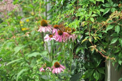 Purple coneflowers attract a monarch butterfly in Judy Preston's garden.