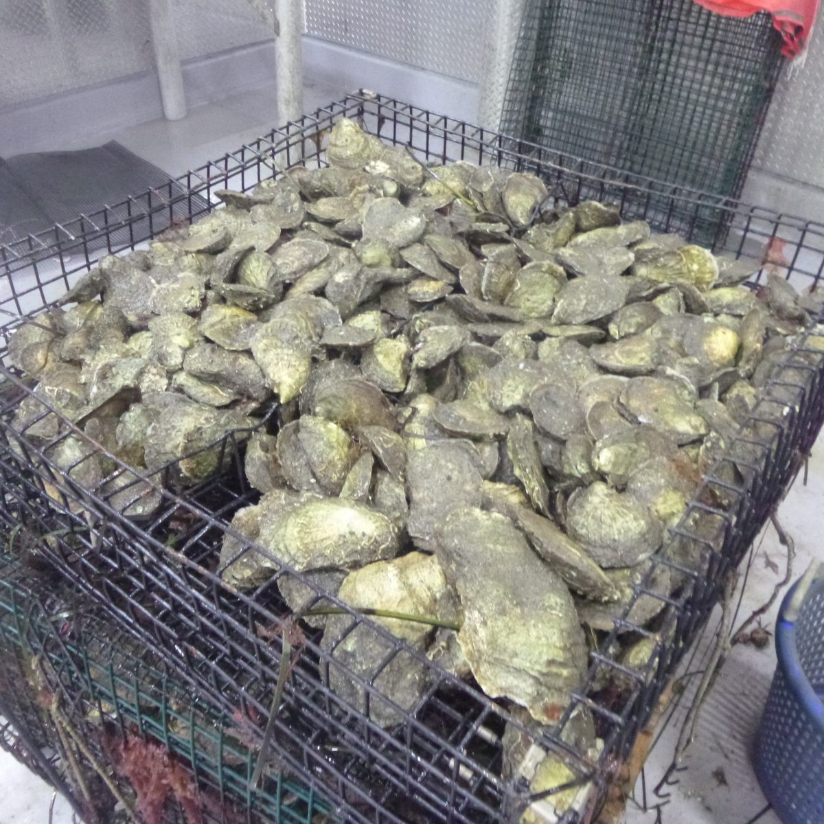 Freshly harvested oysters await packing and delivery in a refrigeration room at the Noank Aquaculture Cooperative.