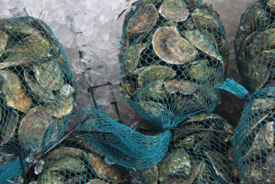 Oysters harvested from the Mystic River in May are packed on ice at a direct sales market that opened recently at the Noank Aquaculture Cooperative.