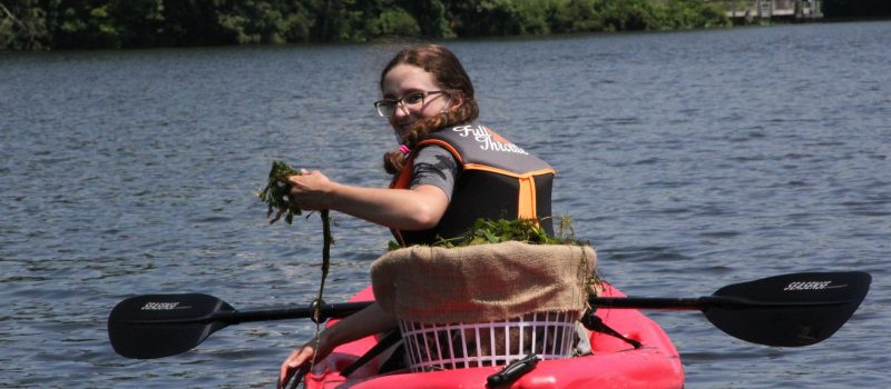 Lindsey Kollmer, CT River River Estuary Aquatic Invasive Plant Steward, pulls invasive water chestnut from Selden Cove