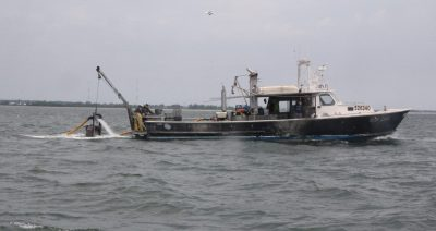 Crews aboard Pot Luck, a vessel owned by Sam Fernandez of Sam's Seafood, harvest clams from natural shellfish beds near Bridgeport on June 10 as part of the natural bed rehabilitation project.