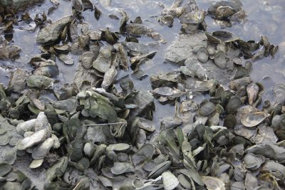 One of the state's natural oyster beds is located in Hoadley Creek in Guilford.