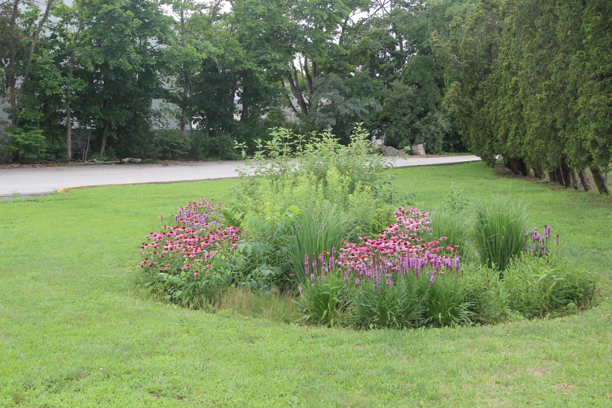 Coneflower and blazing star are in bloom in the rain garden behind the baseball field at East Lyme High School.