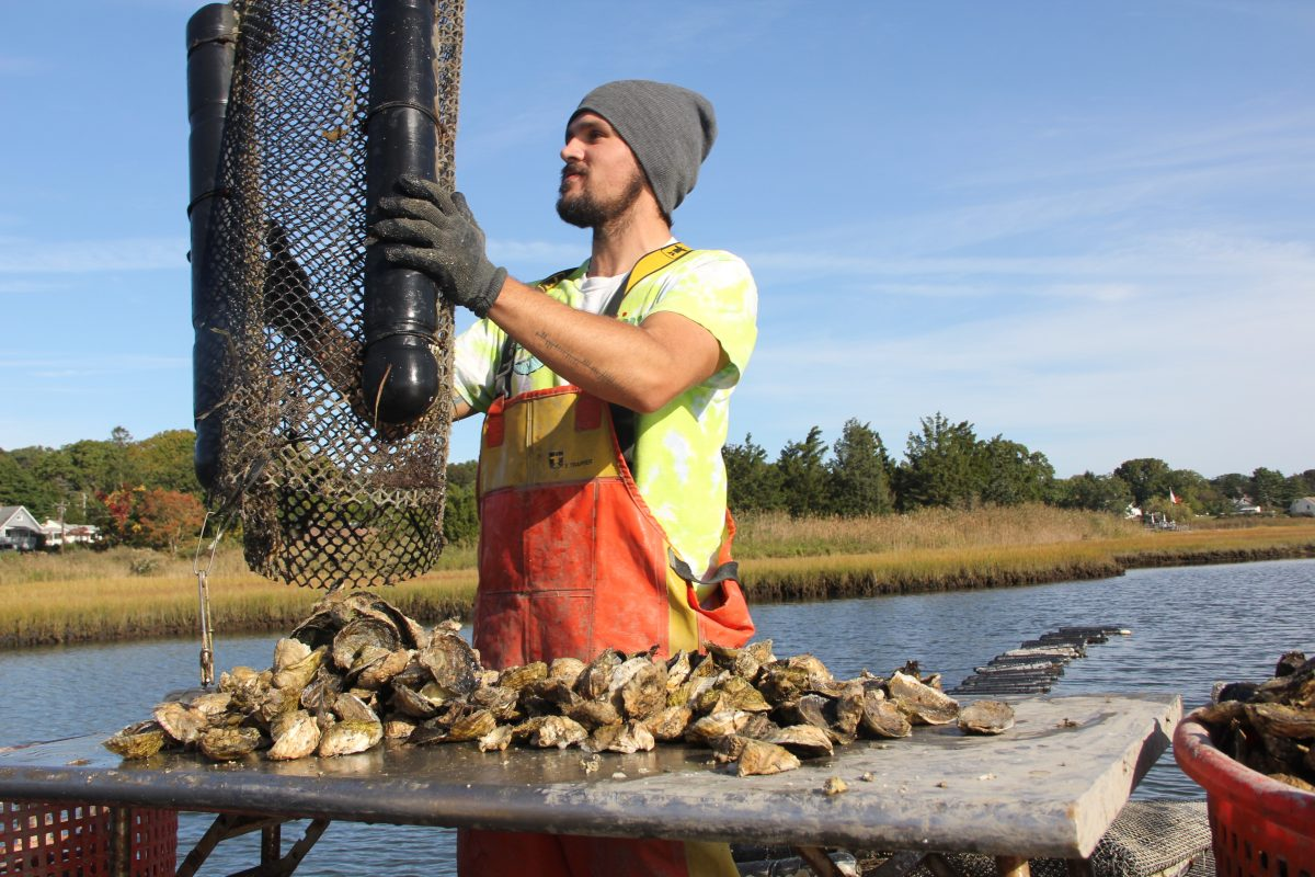 Jason Hamilton empties oysters onto a work table aboard their boat to clean and sort them.