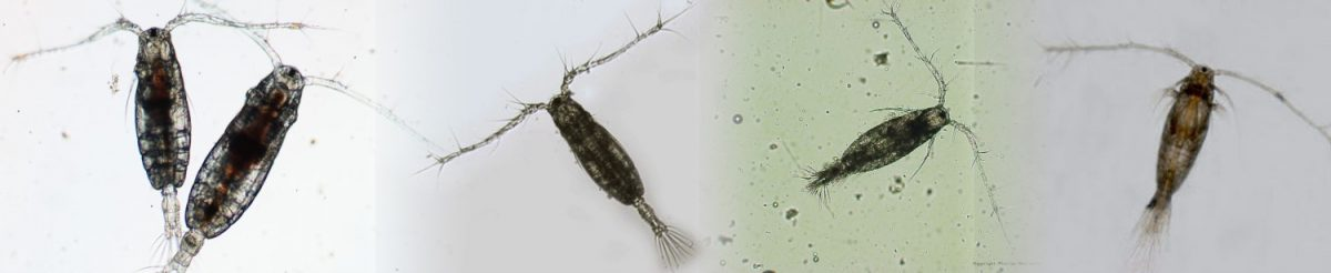 Copepods viewed under a microscope.
